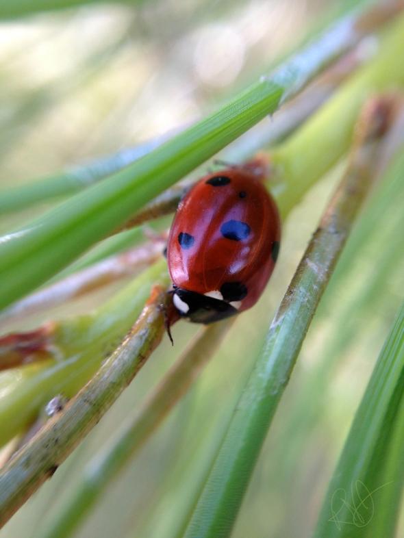 iPhone Ladybug 1
