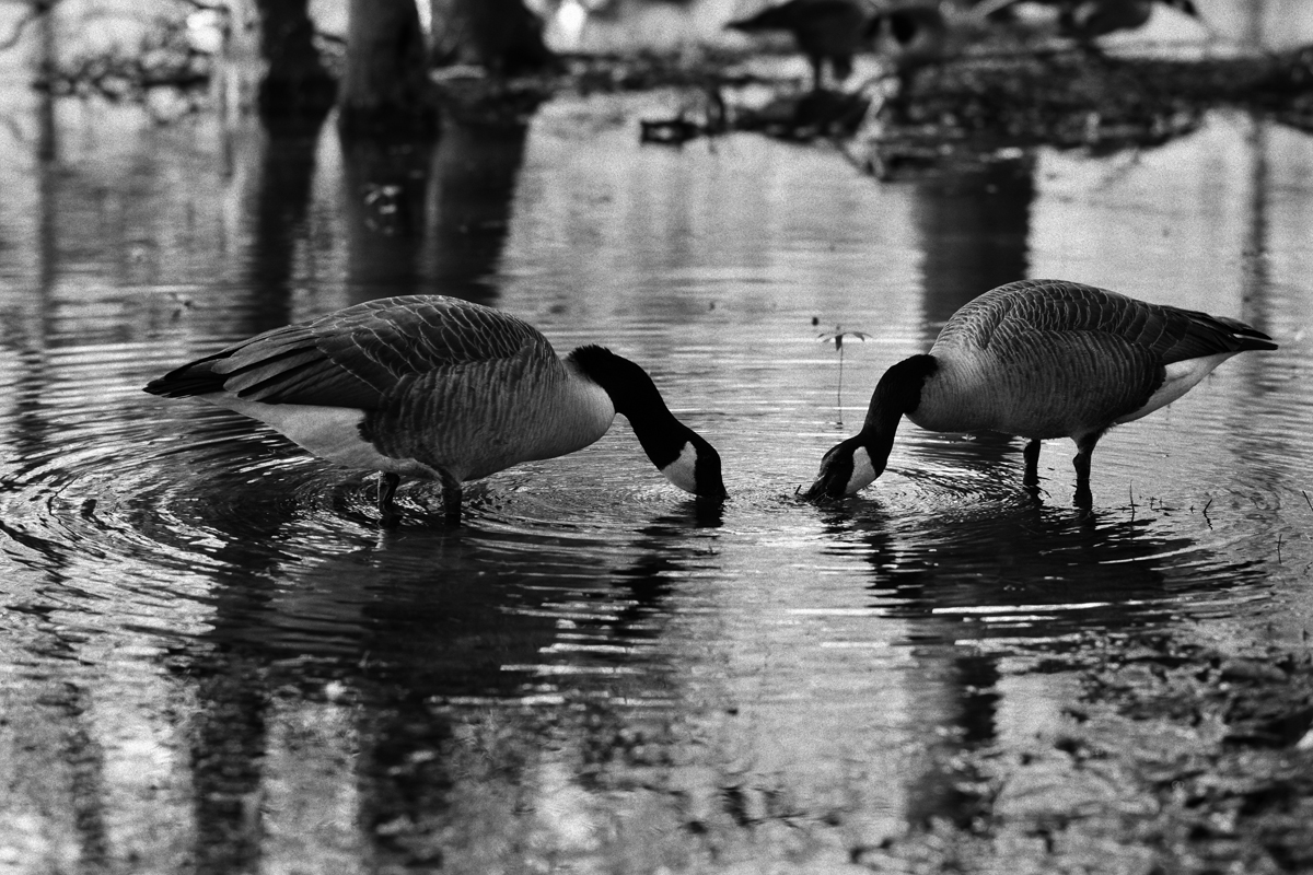 Drinking Geese 1