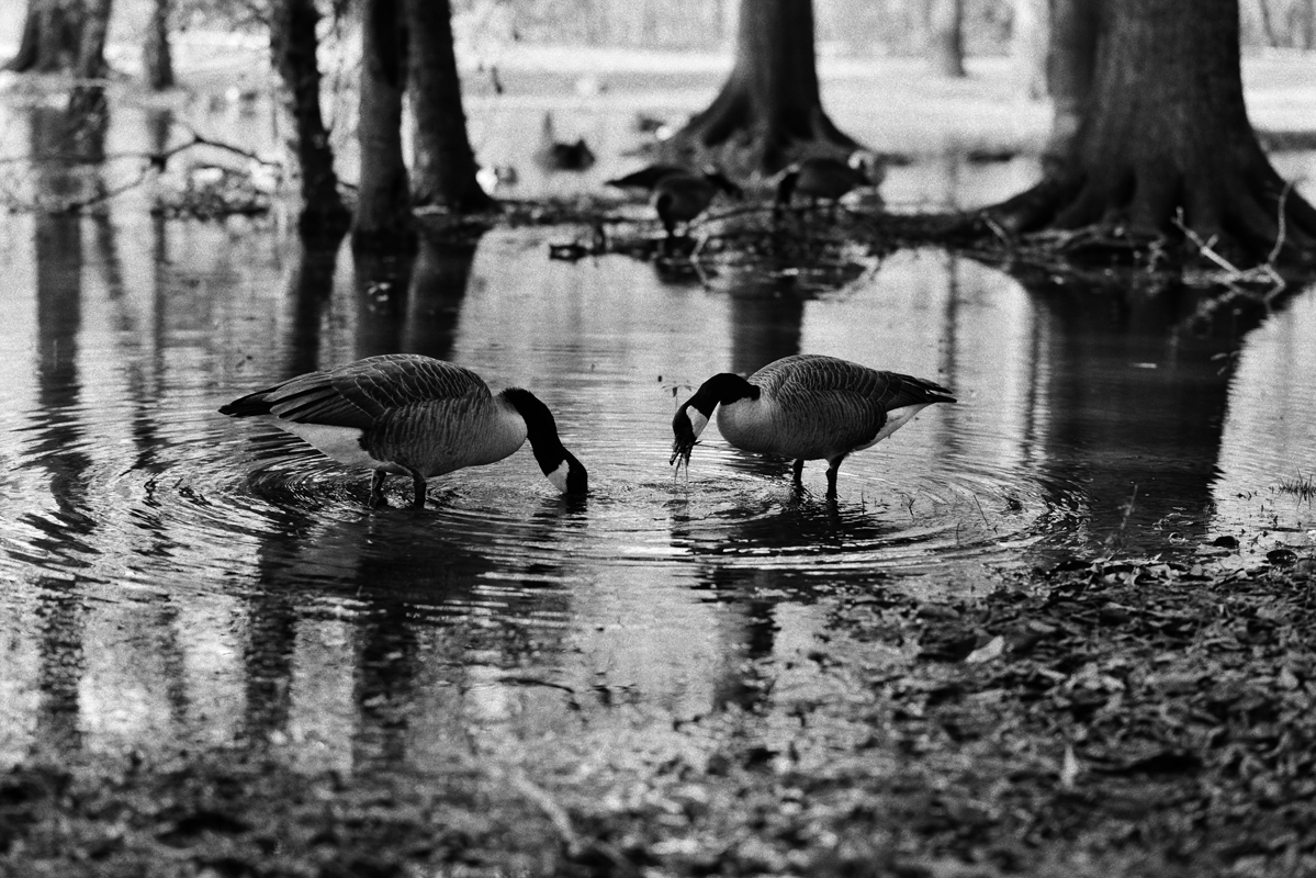 Drinking Geese 2