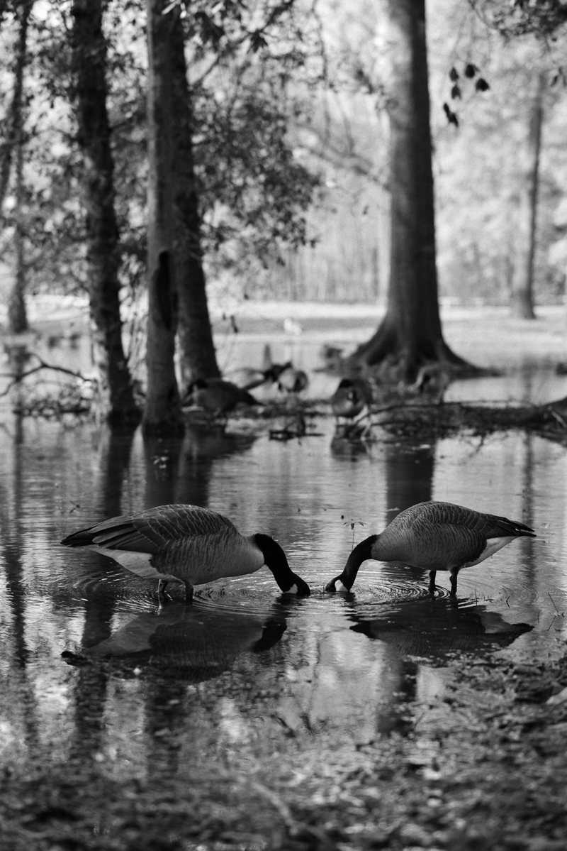 Drinking Geese 3