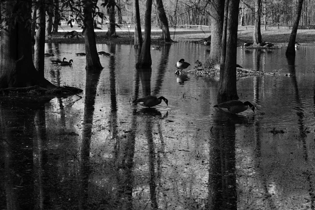 Flood Ducks 1