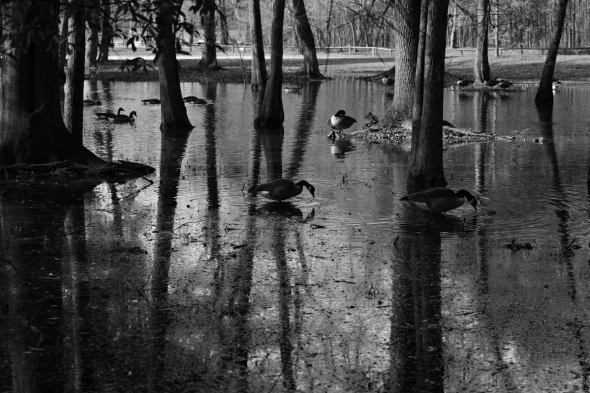 Flood Ducks 1