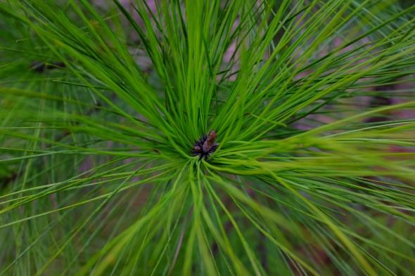 pine tree x-green 1