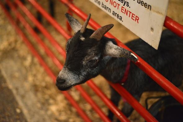 RNJ Baby Goat