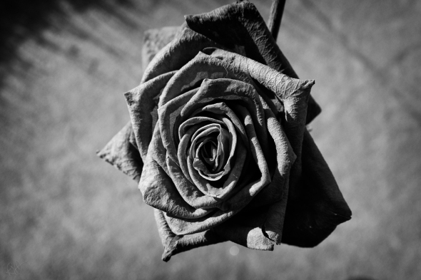 Rose BW Close 1 blog