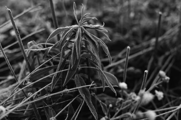 Frosty Grass 2