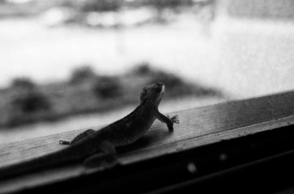 here lizard lizard