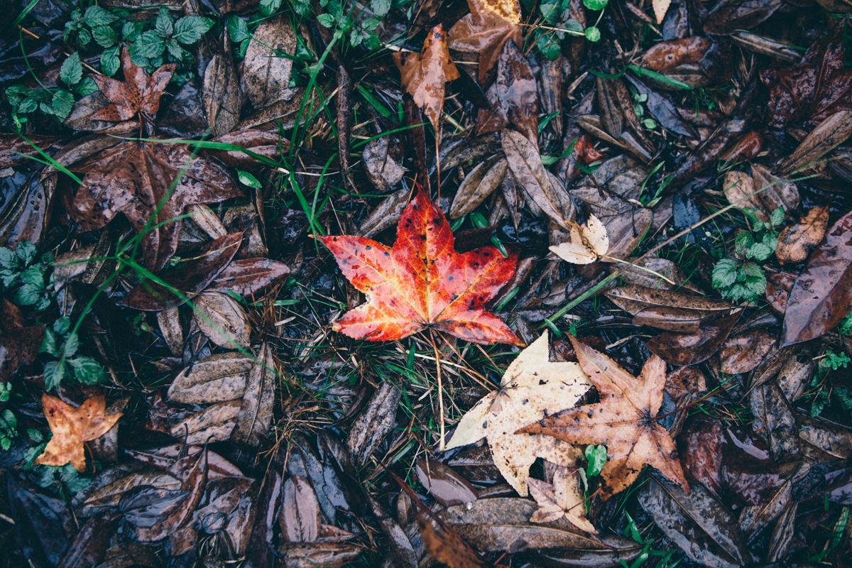 Red Leaf 1 blog