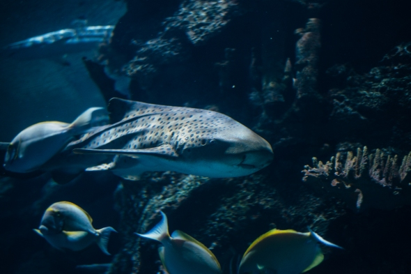 Zebra Shark 1 blog