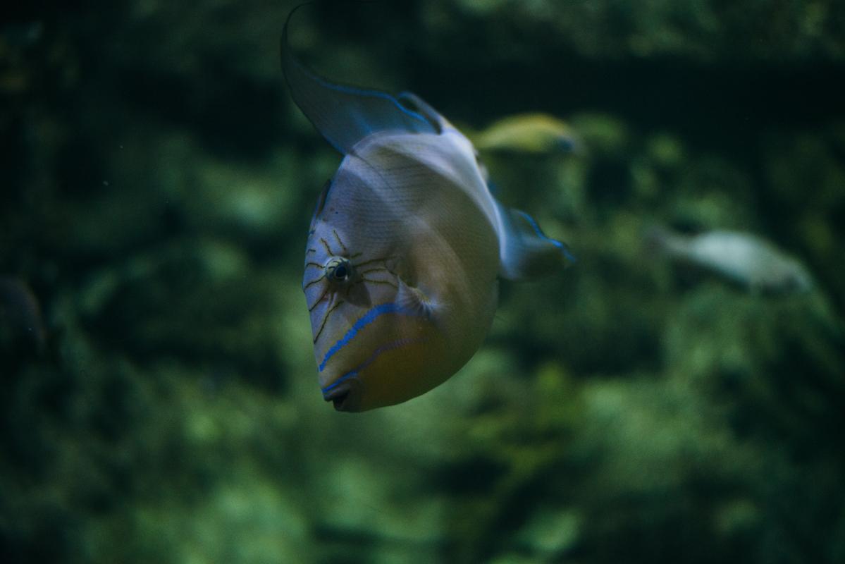 Blue Strip Fish 1 blog