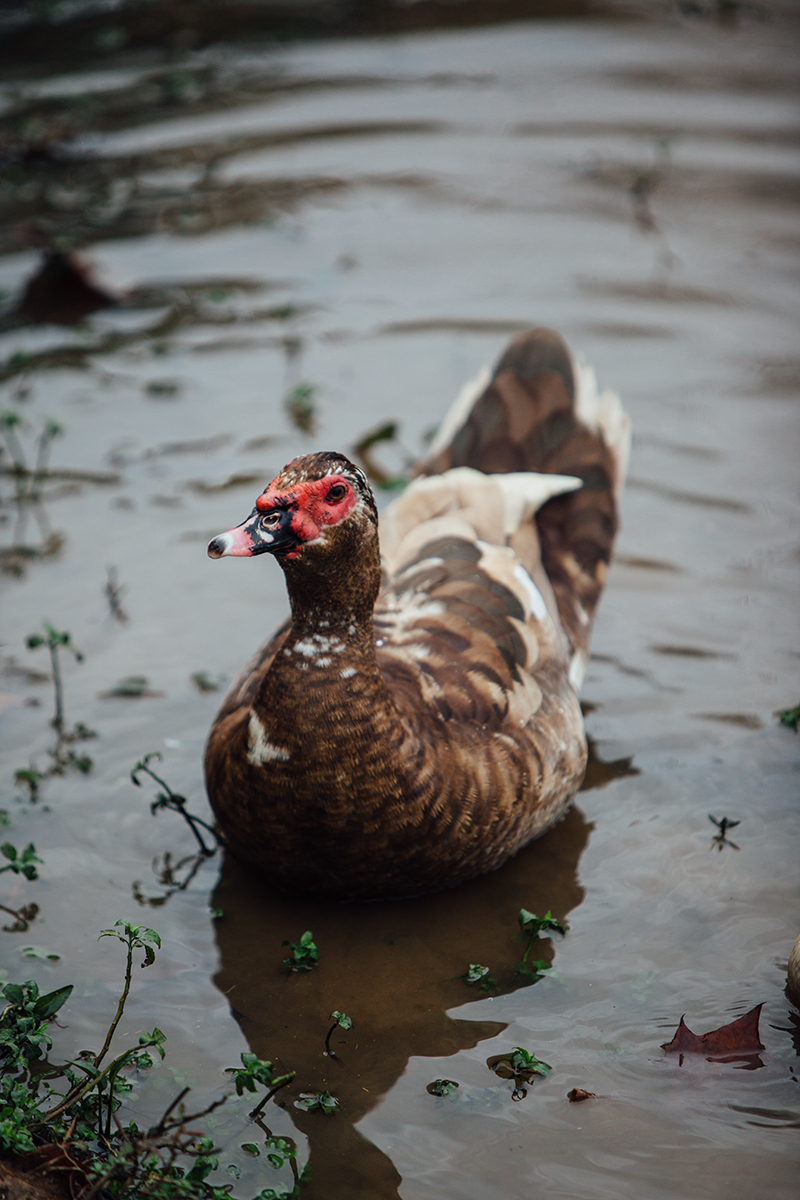 Red Face Duck 2 blog
