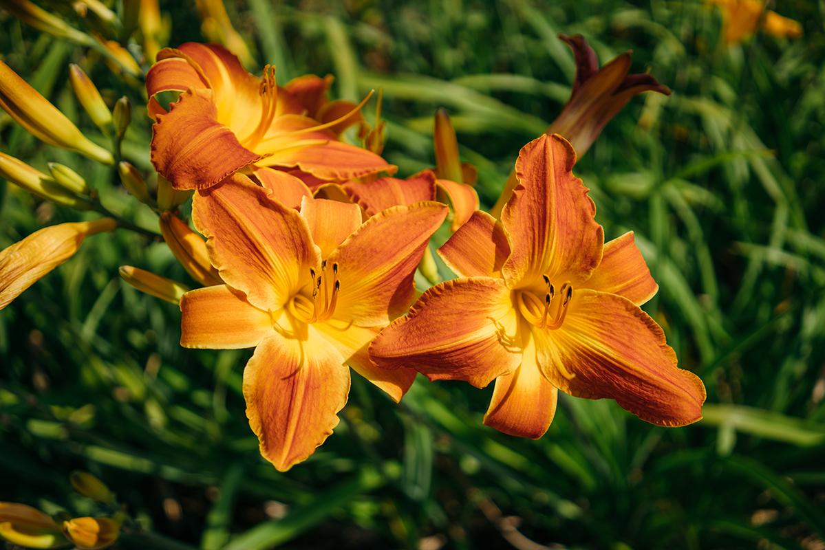 orange flowers 1 blog