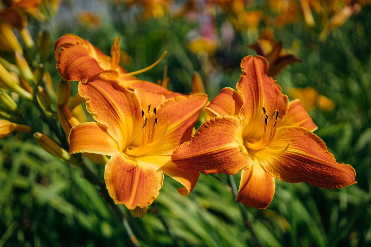 orange flowers 2 blog