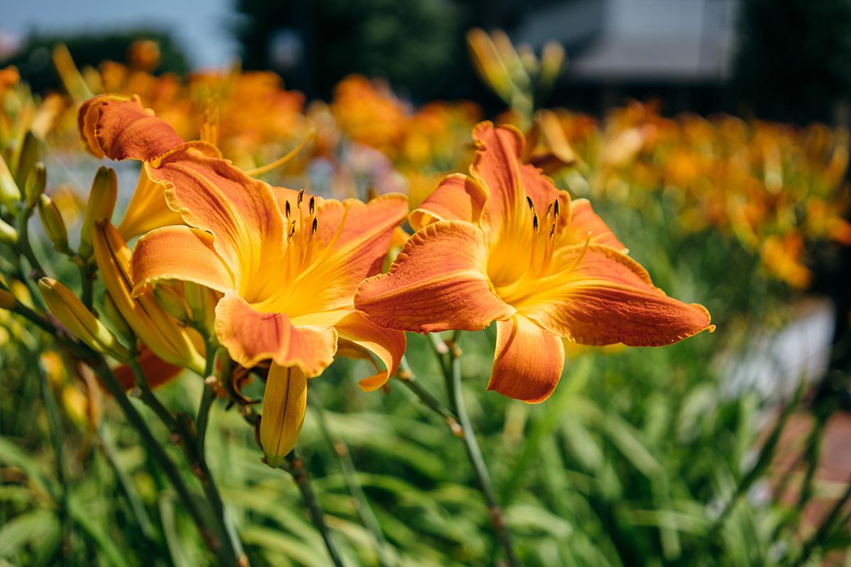 orange flowers 3 blog